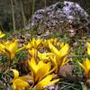 Цветы Крыма - Шафран цветет на 8 марта (Крокусы)