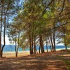 Beach under the pine trees.